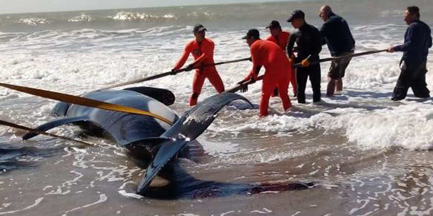 Intentan devolver al mar a siete orcas encalladas en Mar Chiquita
